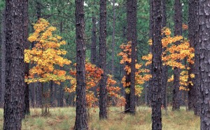 longleaf-autumn-640x400