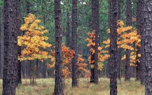 longleaf-autumn-640x400