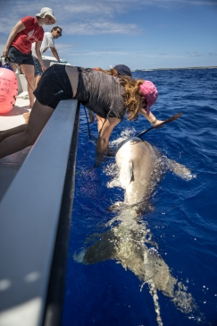 Shark tagging in the Bahamas. Photo: Andy Mann