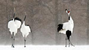 Due to drought and development, Red-crowned Cranes are having trouble breeding in their native wetlands in Asia. The drought is believed to be a result of climate change. Photo: David Courtenay/Audubon Photography Awards